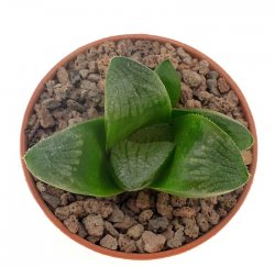 HAWORTHIA cv. Matrix
