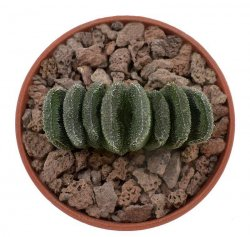 HAWORTHIA truncata var. minor, VA 6718