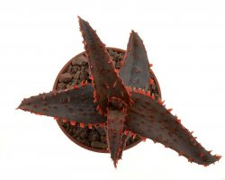 ALOE cv. Dracula´s Blood